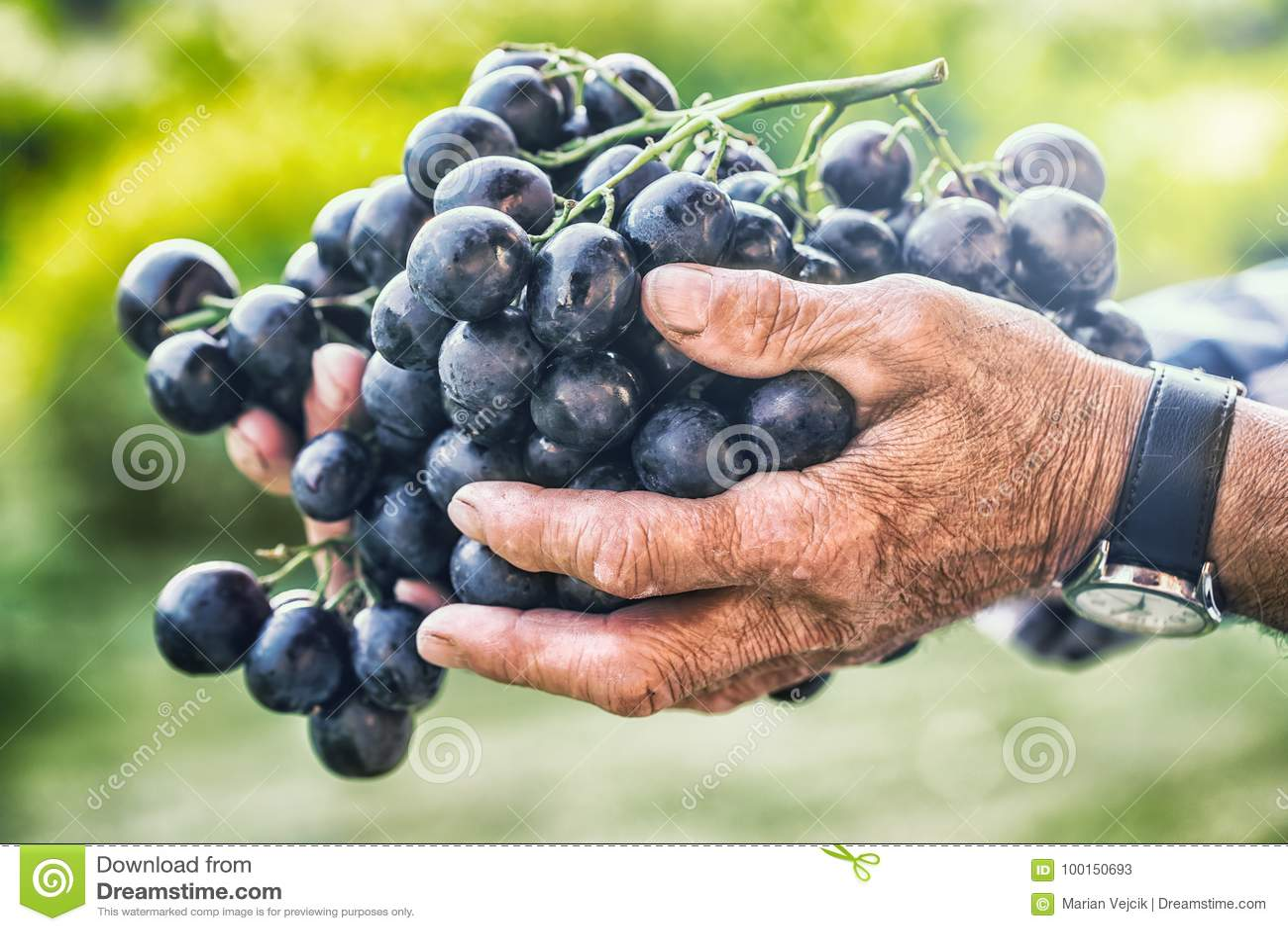 Colheita de uvas Fazendeiro superior idoso preto ou azul das uvas de grupo à disposição