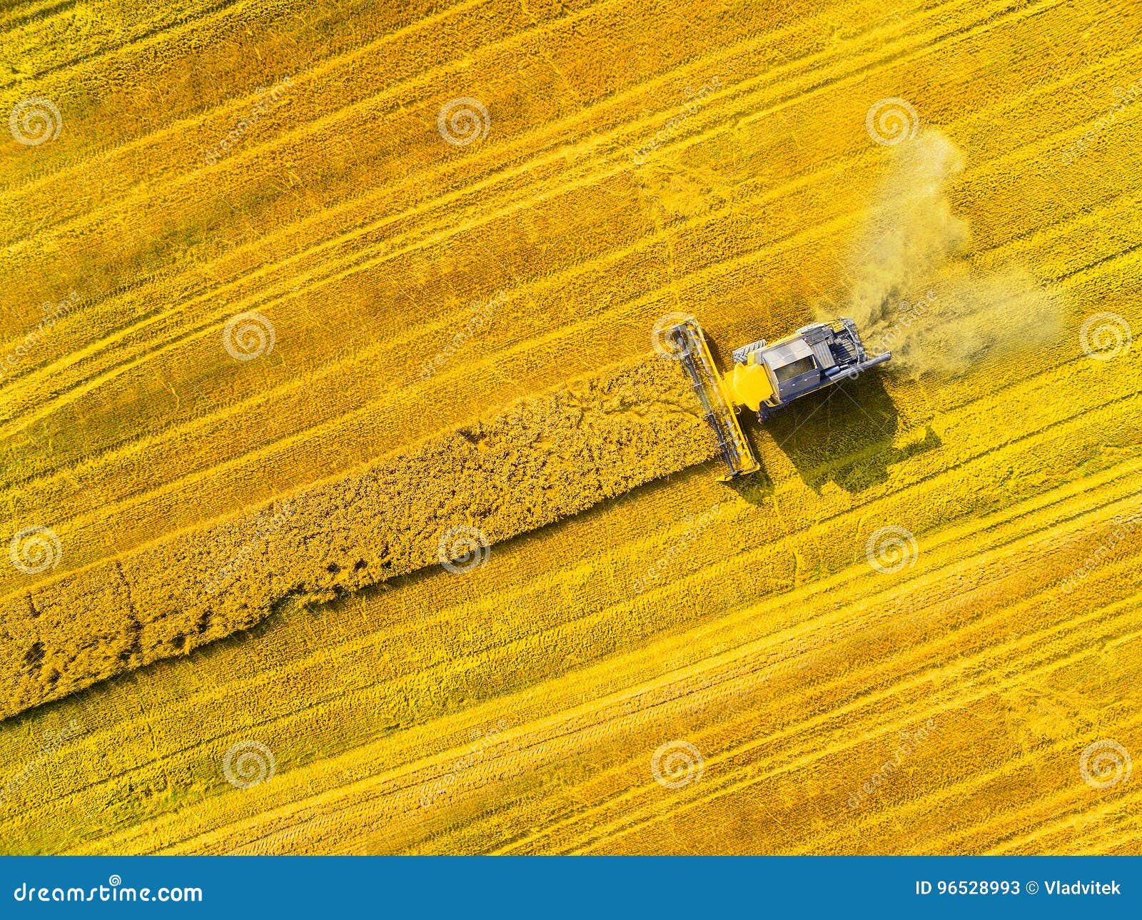 Colheita do campo da colza