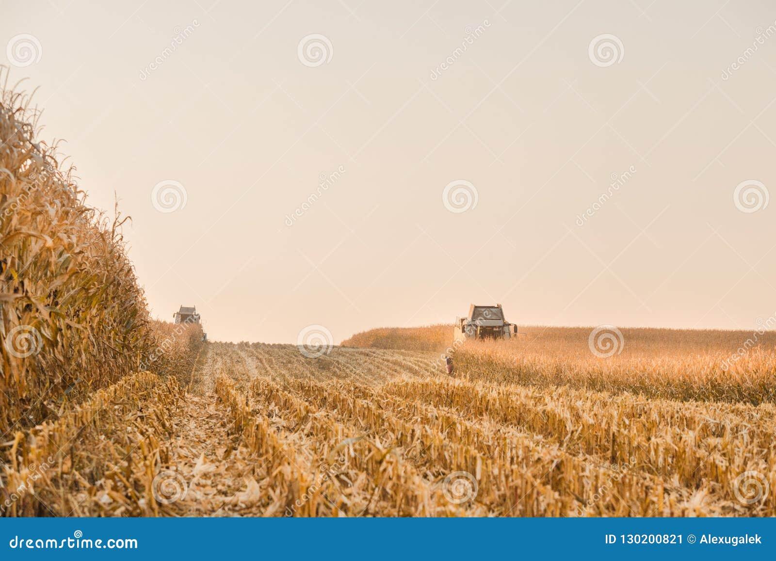 Colheita do campo de milho