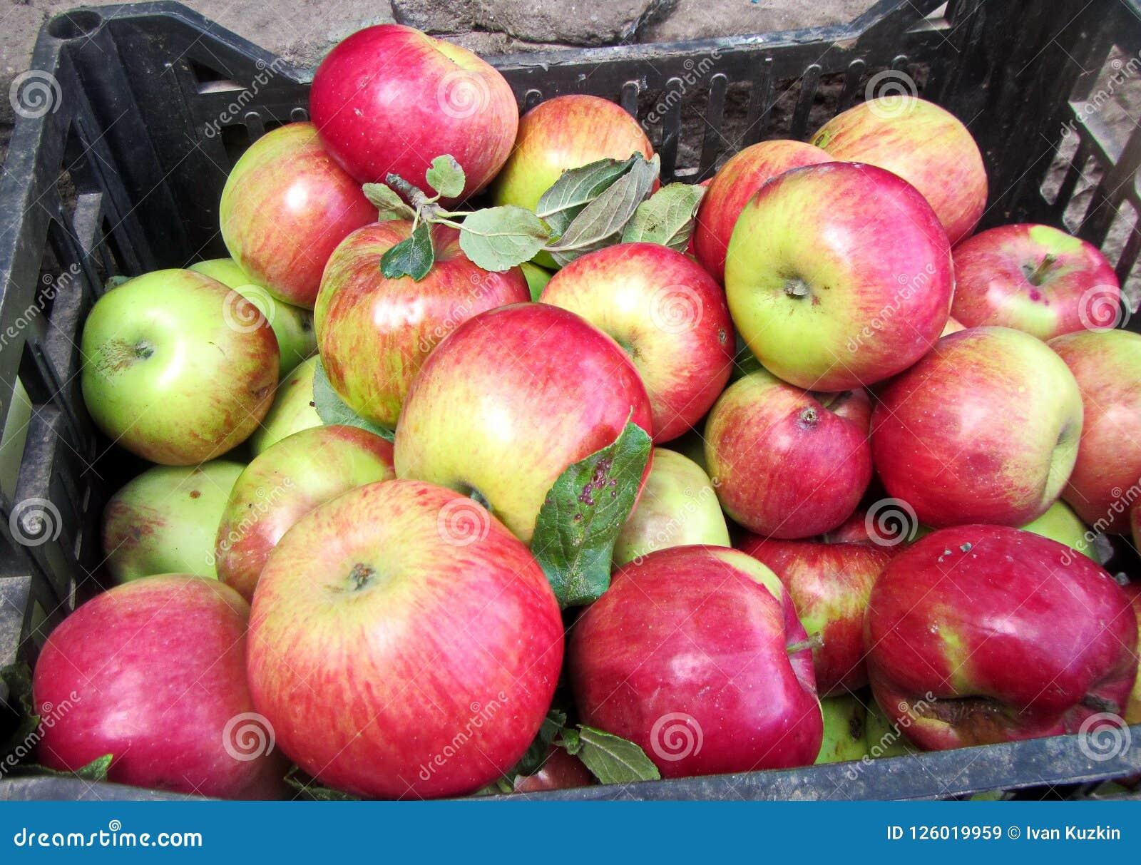 A colheita do outono dos frutos, maçãs, ts do NU recolheu em umas cubetas e em umas caixas