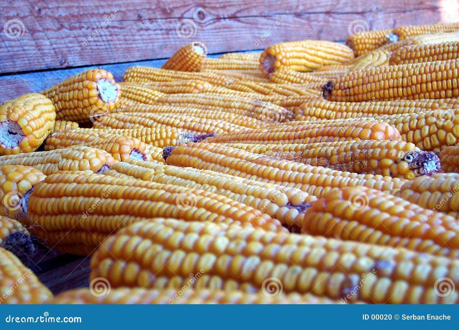 Colheita do outono - milho