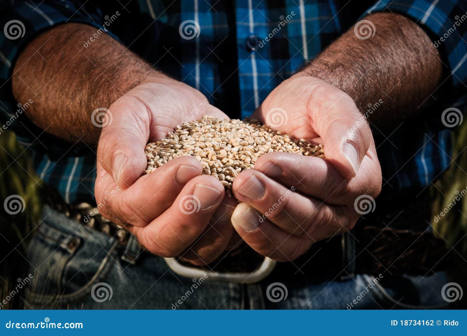 Colheita do trigo