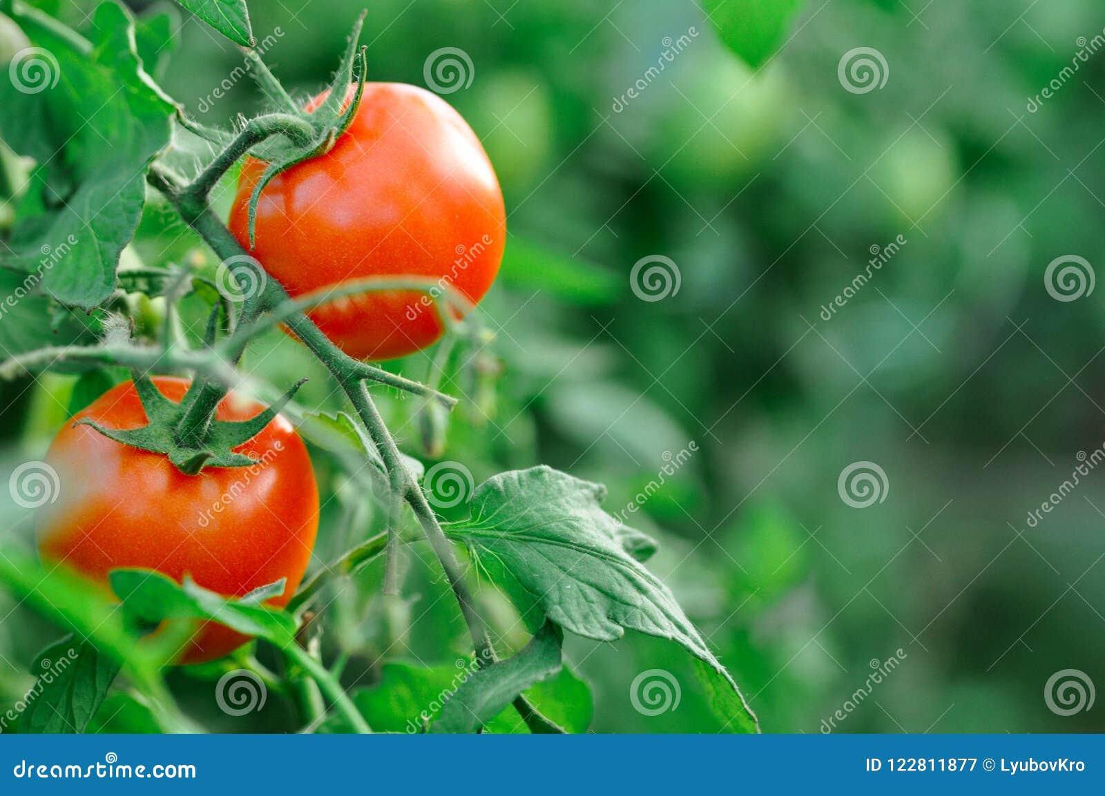 A colheita dos tomates na estufa na queda Vegetais vermelhos e verdes