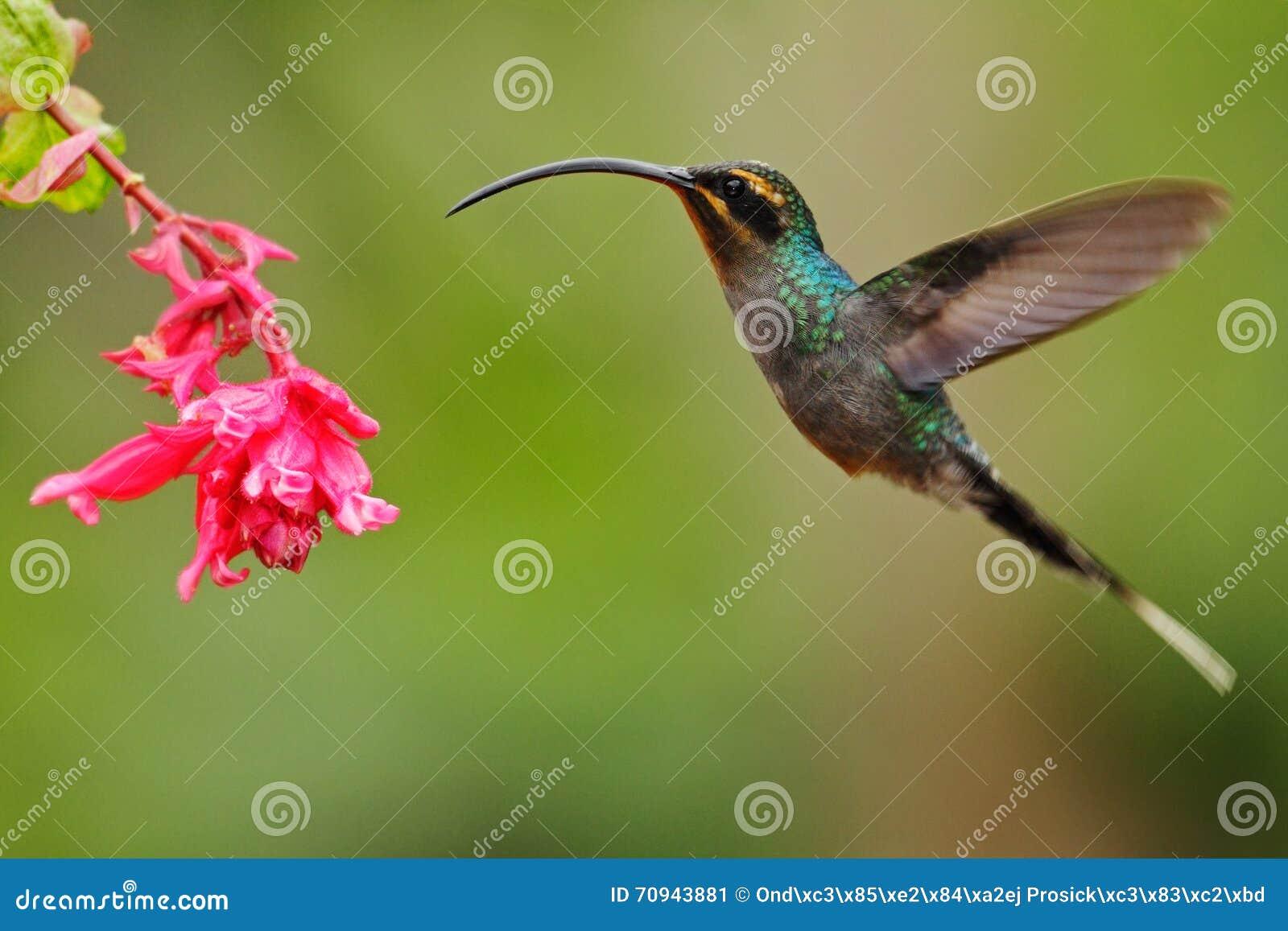 Colibrì con il becco lungo, eremita verde, tipo di Phaethornis, fondo verde chiaro della radura, scena di volo di azione nell hab