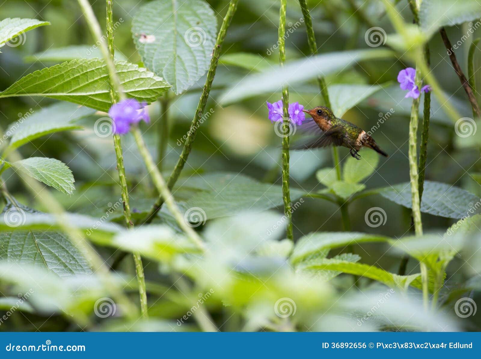 Download Colibrì e fiore fotografia stock. Immagine di rapidamente - 36892656