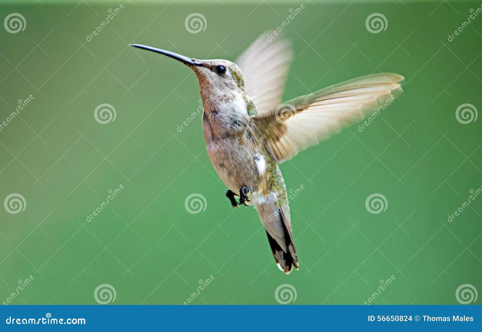 Colibrì Nero-chinned