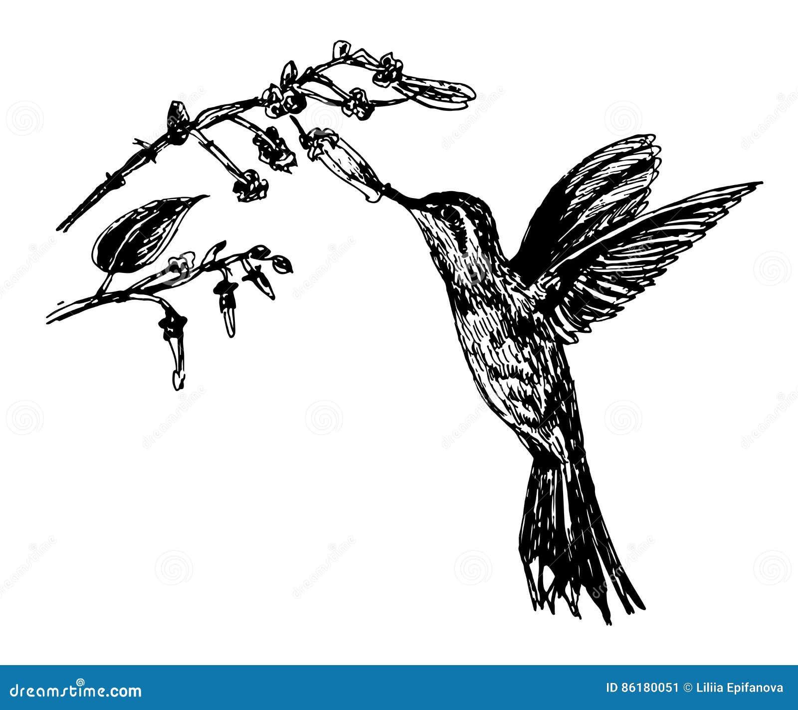 Colibrì piccoli di disegno dell uccello e ramo di fioritura, illustrazione di schizzo