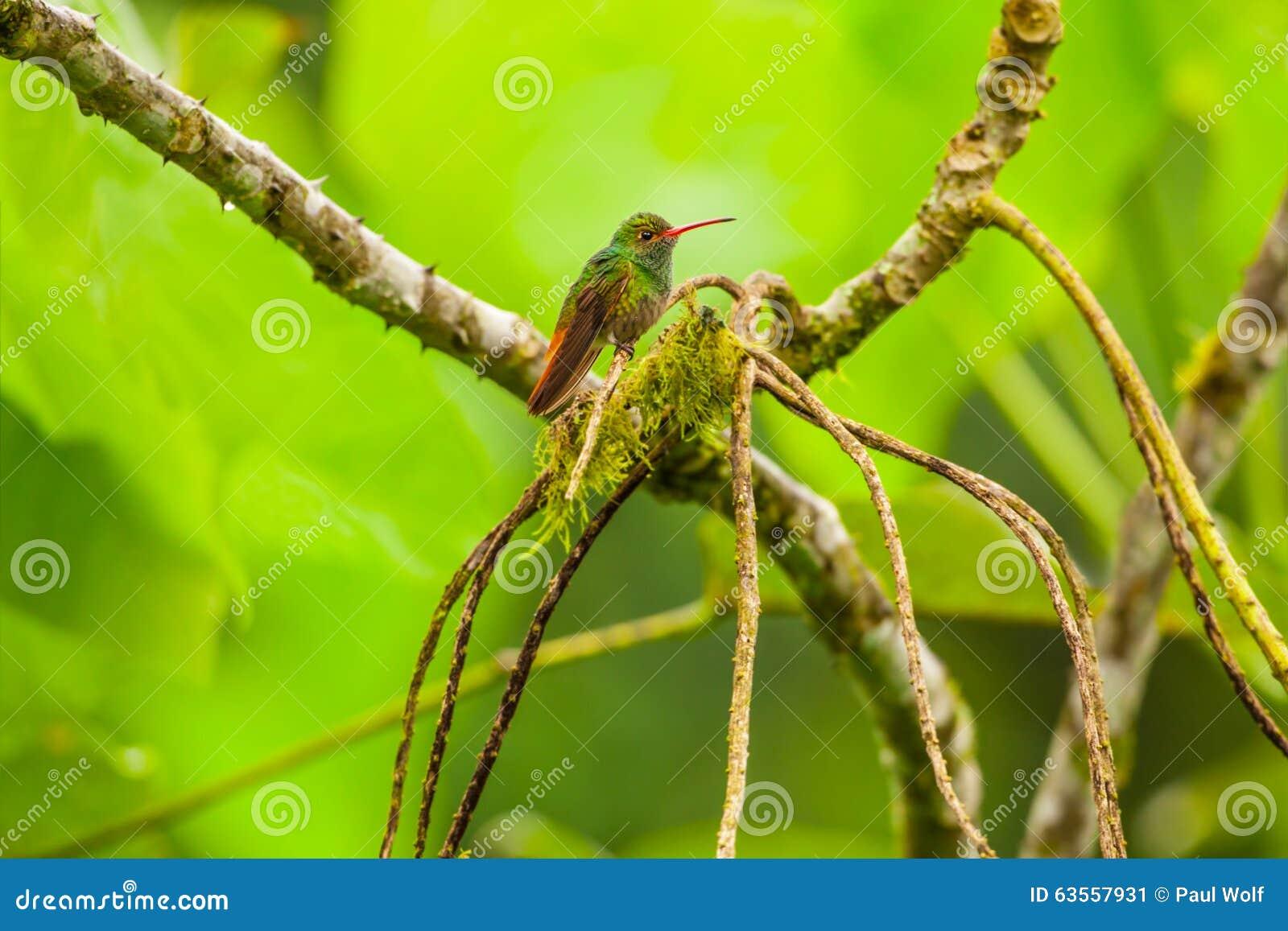 Colibrì Rufous-munito