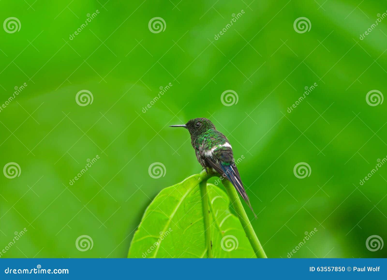 Colibrì verde di Thorntail, maschio