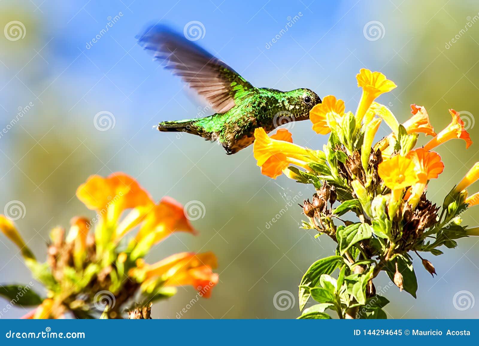 Colibr? verde smeraldo occidentale che si alimenta i fiori