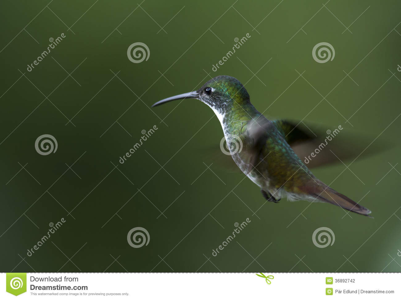 Download Colibrì in volo fotografia stock. Immagine di volo, bello - 36892742