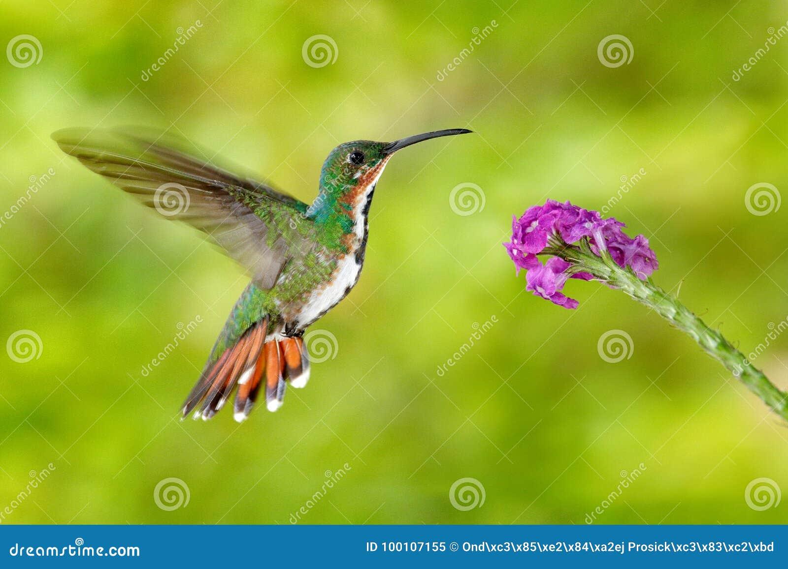 Colibrí del vuelo Mosca verde-breasted del mango del colibrí, flor rosada Pájaro tropical salvaje en el hábitat de la naturaleza,