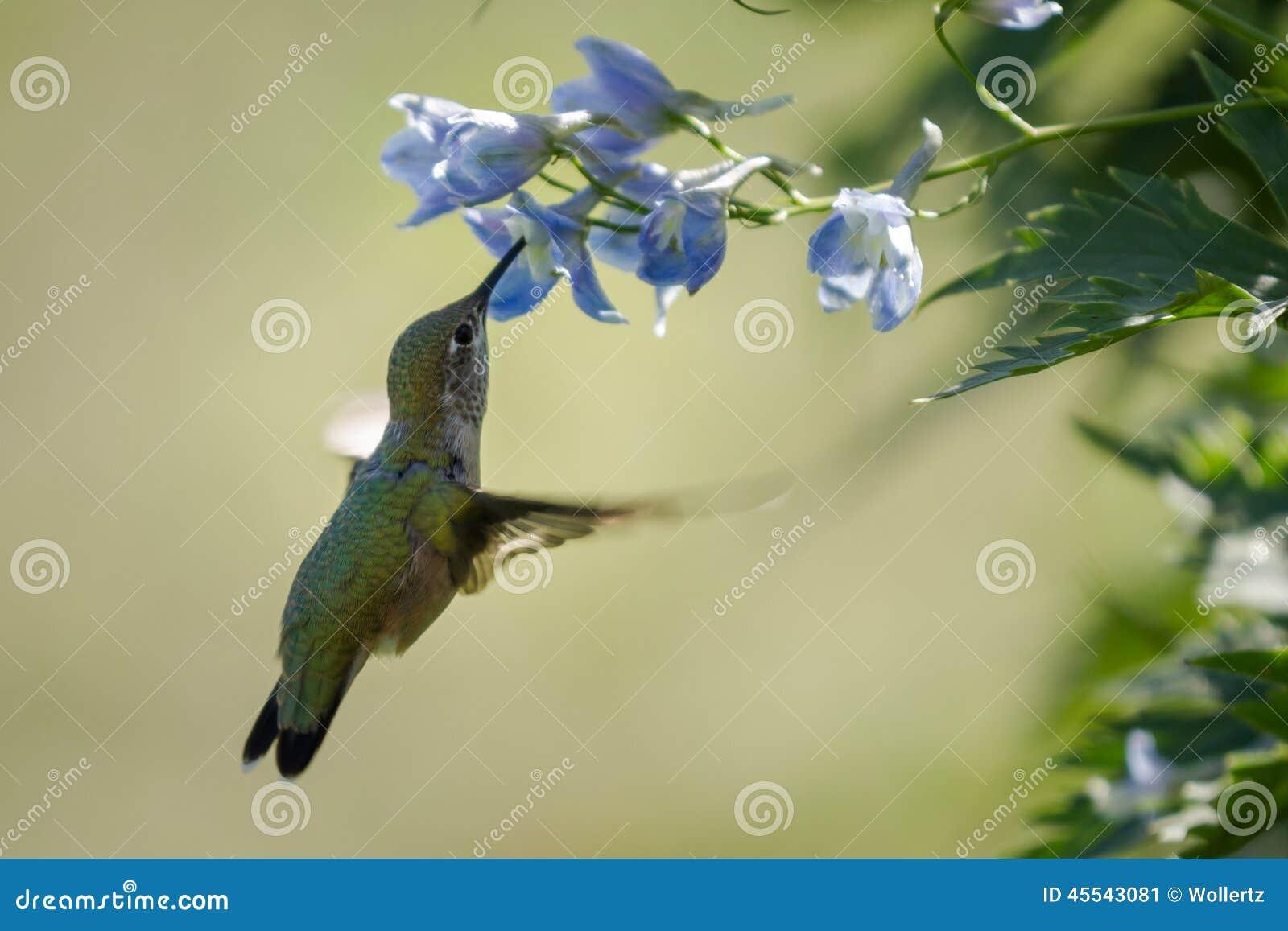 Colibrí en flores