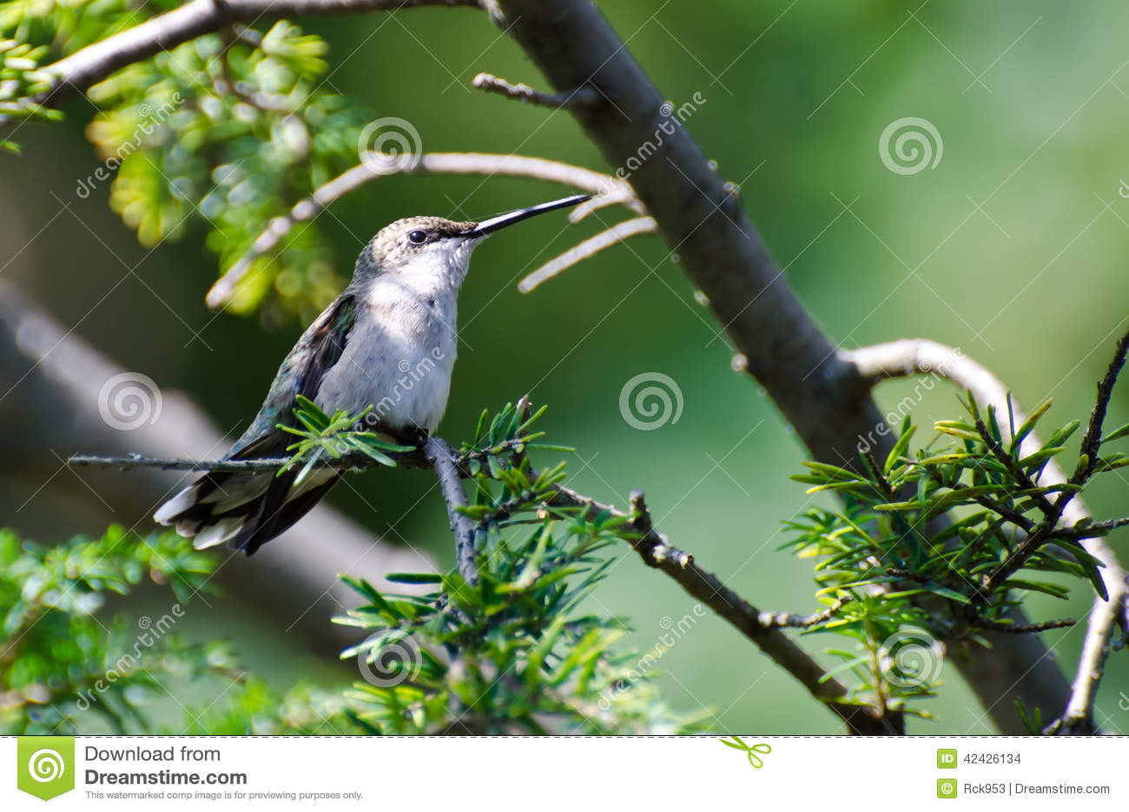 Colibrí Rubí-Throated encaramado en un árbol