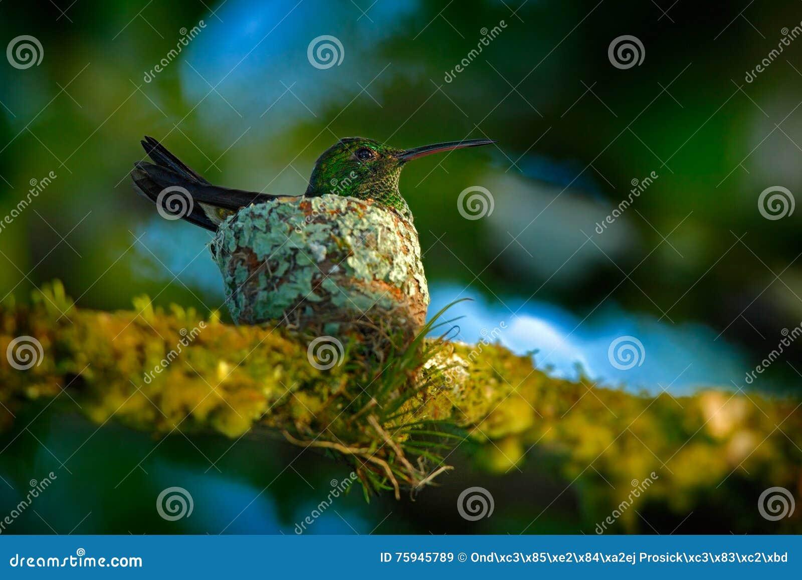 Colibri adulte se reposant sur les oeufs dans le nid, Trinidad-et-Tobago Colibri de cuivre-rumped, tobaci d Amazilia, sur l arbre