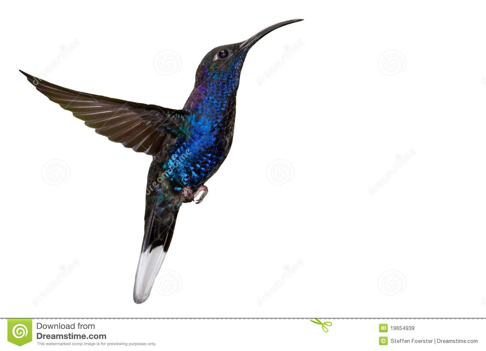 Colibri bleu en vol d isolement sur le blanc