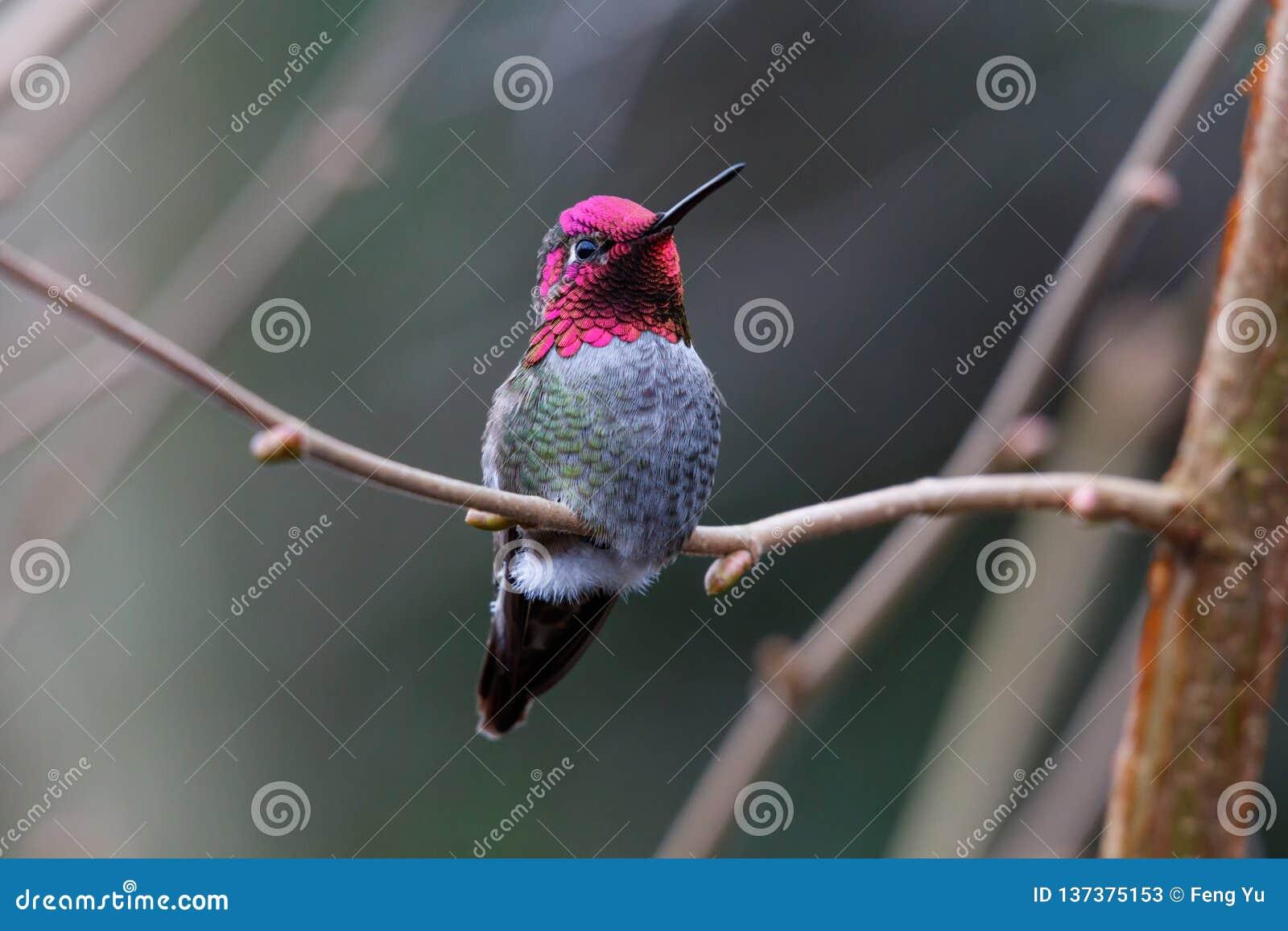 Colibri d Annas de mâle