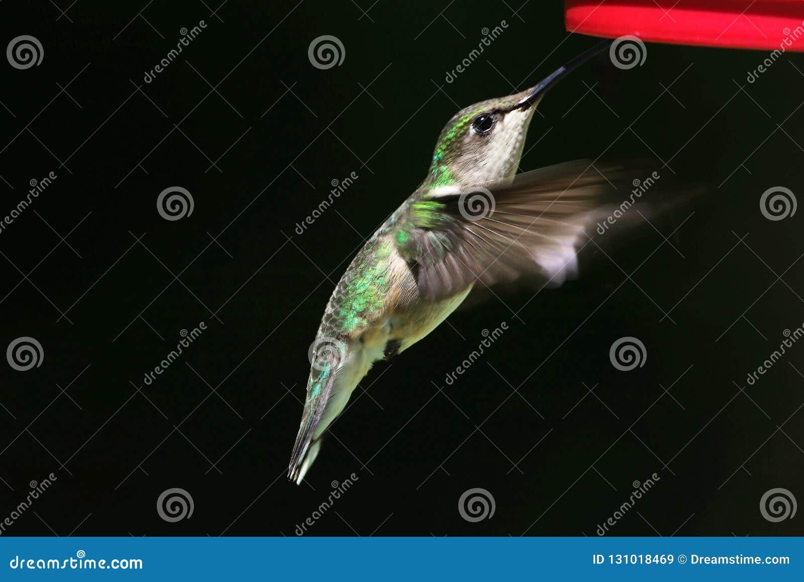 Colibri dans le mouvement lent
