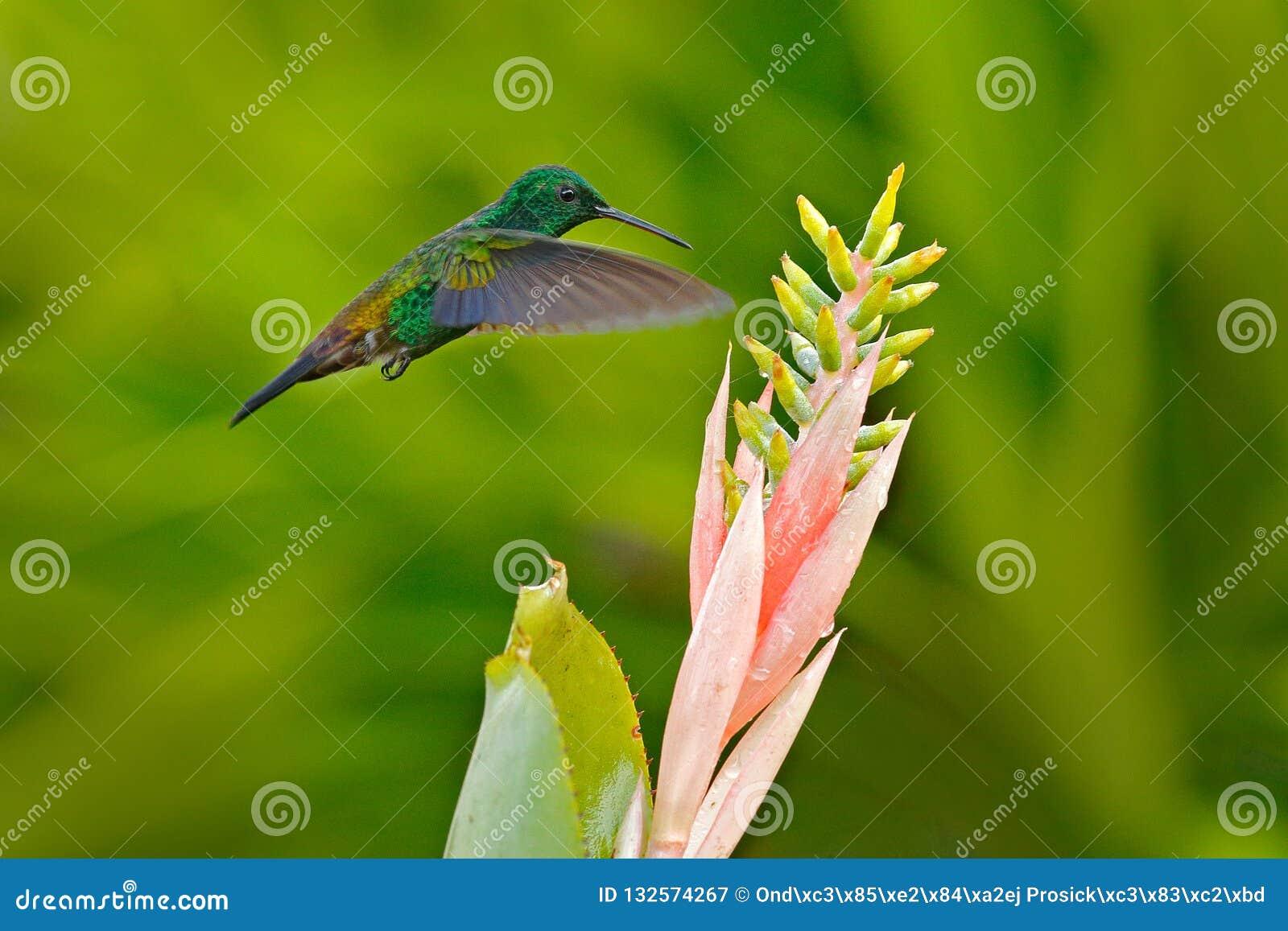 Colibri de cuivre-rumped, tobaci d Amazilia, fleur rose de fleur de wuth d oiseau de vol, Trinidad-et-Tobago Colibri des Caraïbe