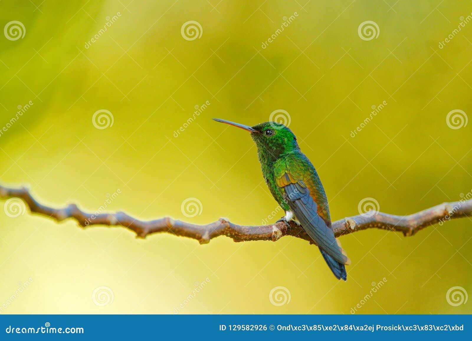 Colibri do cobre-rumped, tobaci de Amazilia, sentando-se no ramo de árvore com backgrond, o Trinidad e o Tobaco amarelos verdes H