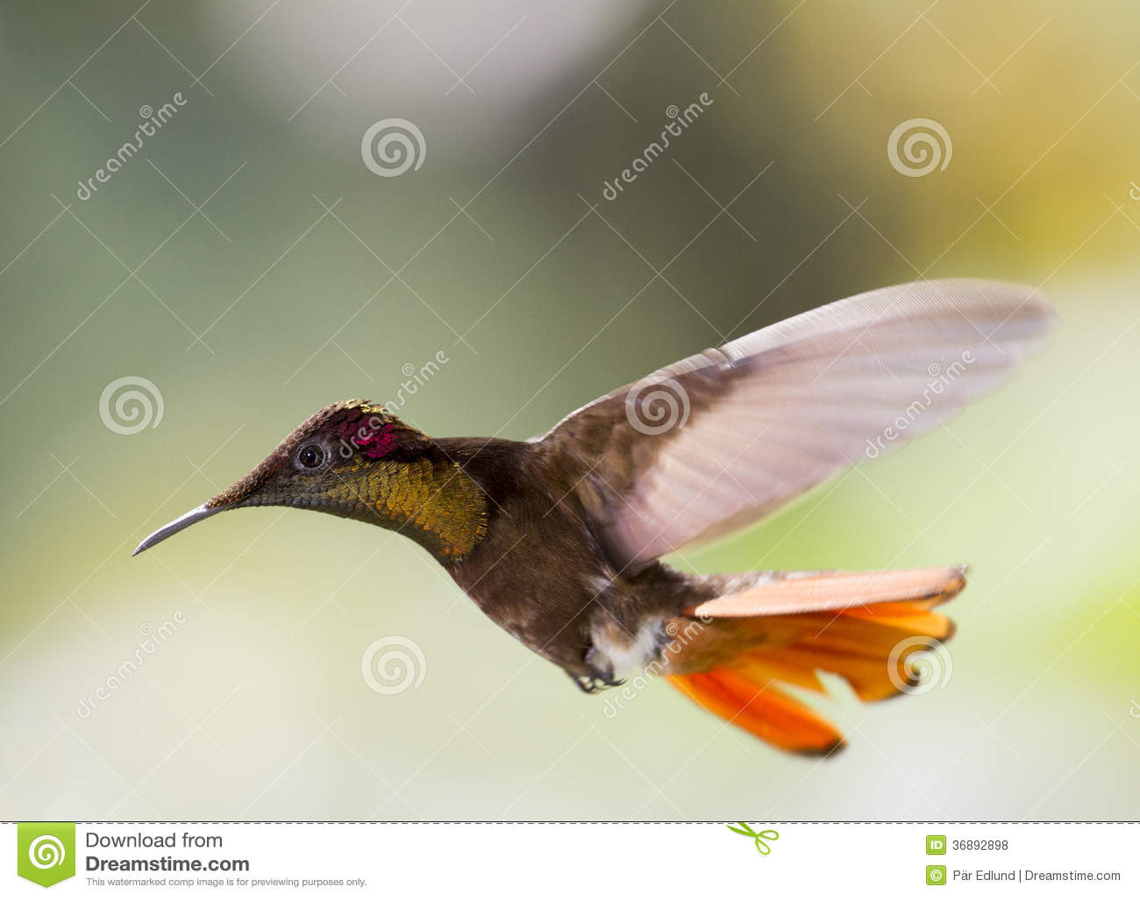 Colibri em voo
