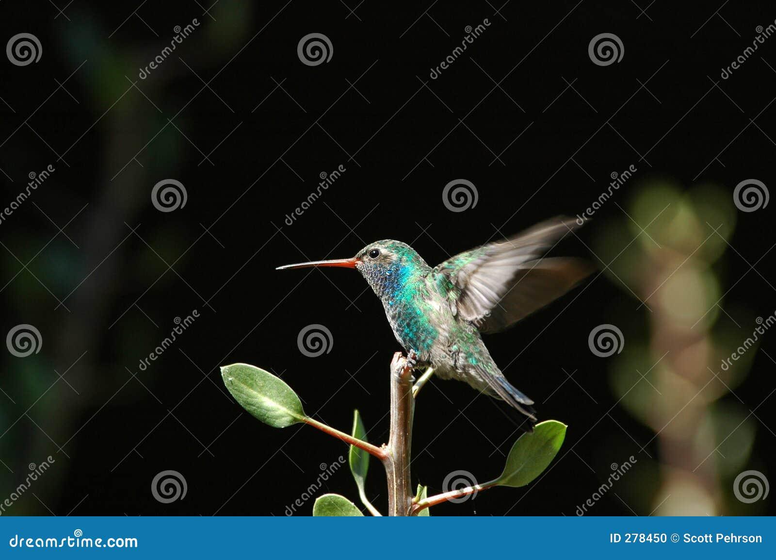 Colibri empoleirado