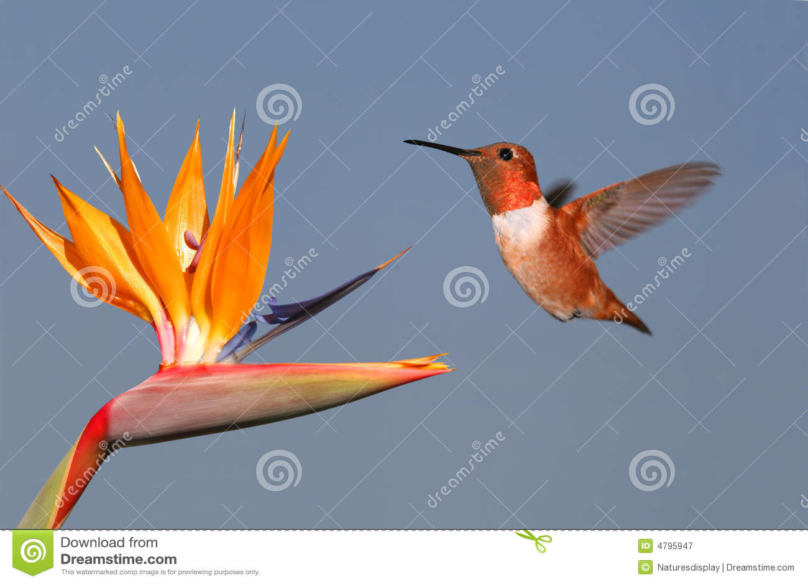 colibri et oiseau du paradis rufous photographie stock libre de droits image 4795947. Black Bedroom Furniture Sets. Home Design Ideas