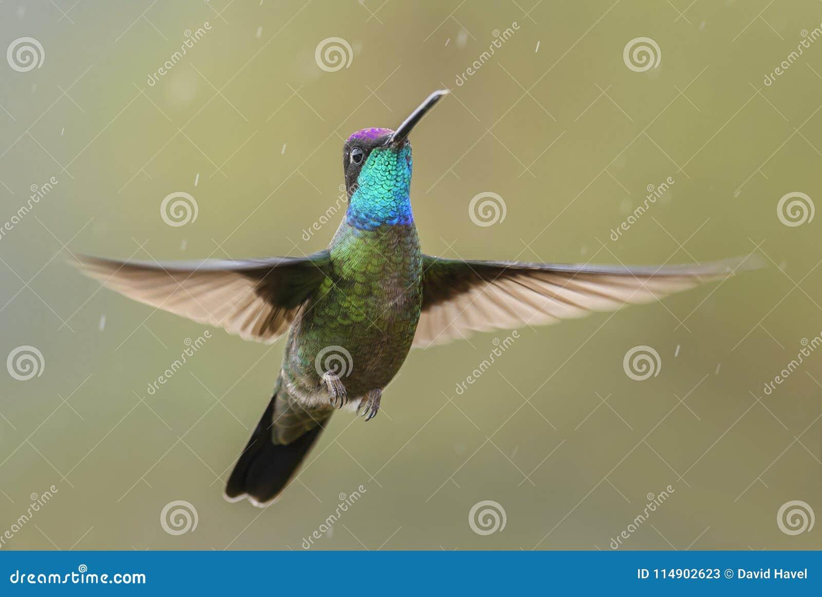 Colibri magnifique - fulgens d Eugenes