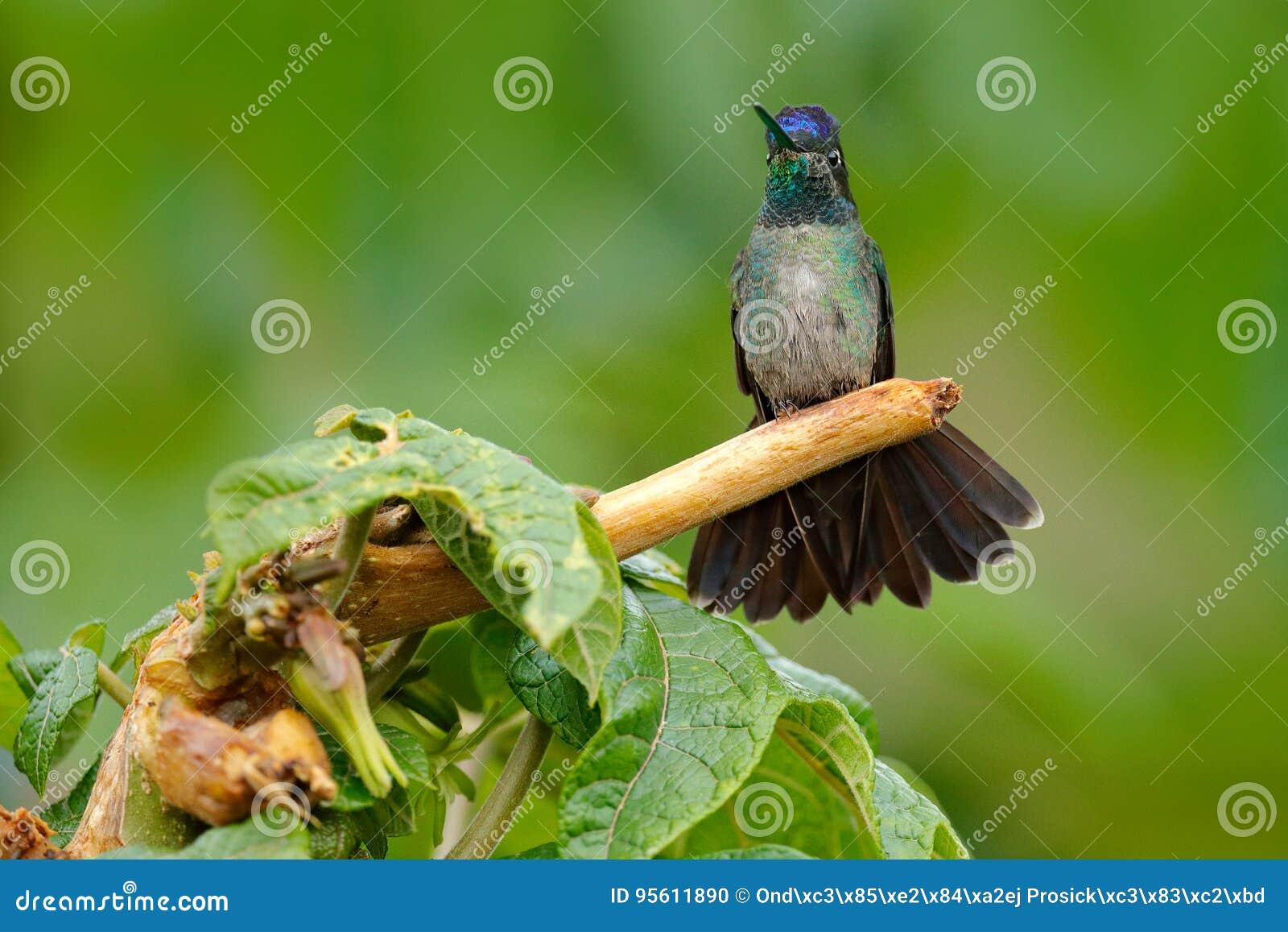 Colibri magnifique, fulgens d Eugenes, oiseau gentil sur la branche de mousse Scène de faune de nature Arbres de jungle avec le p