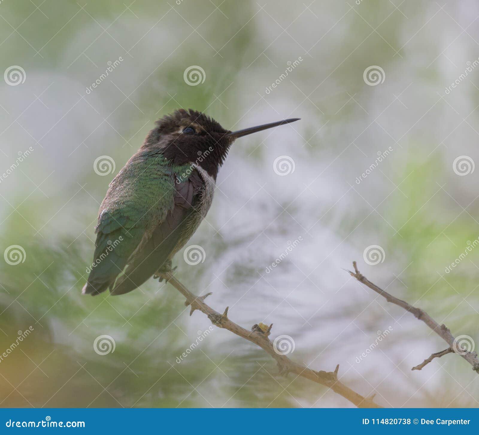 Colibri preto-chinned masculino
