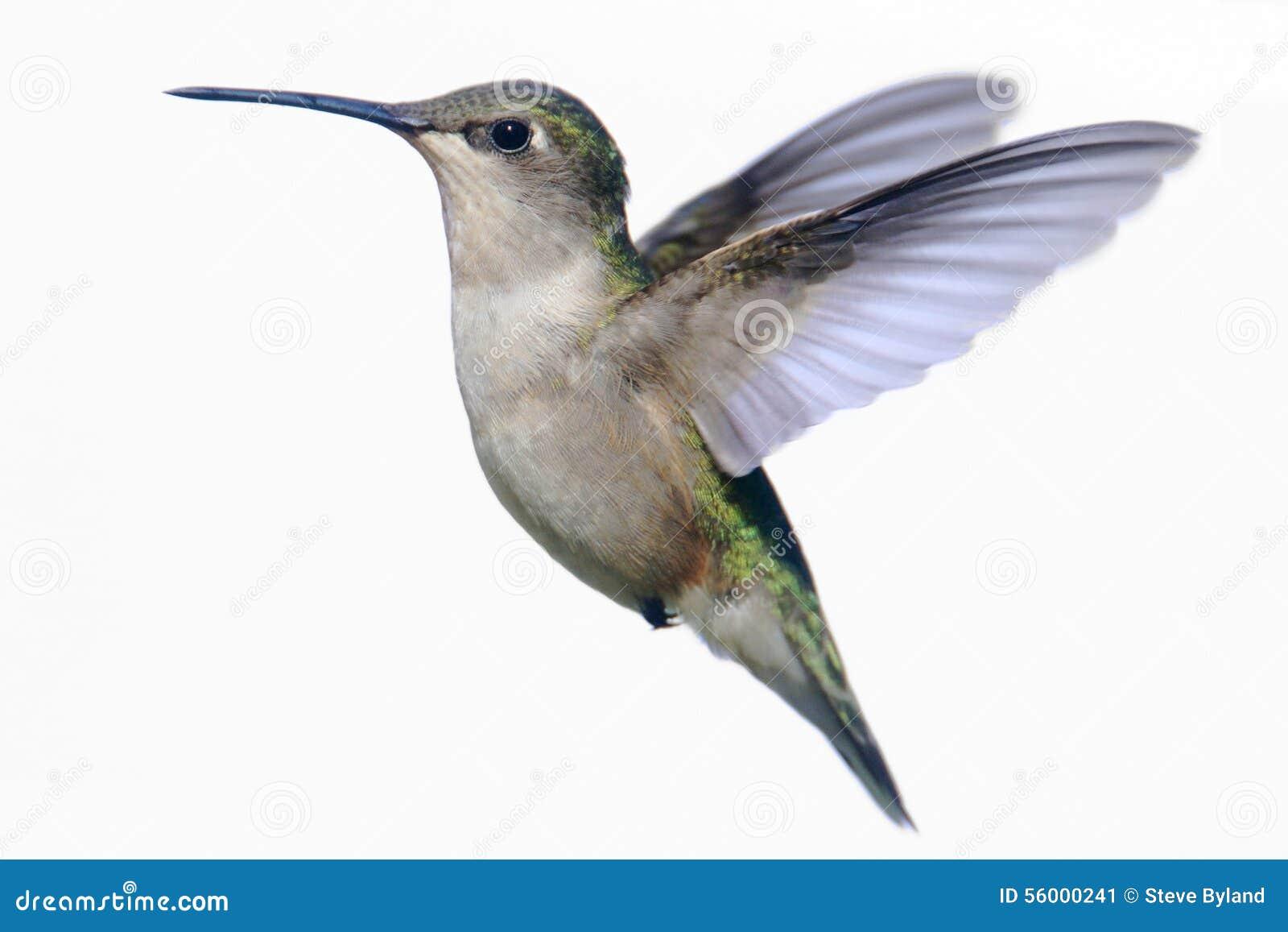 Colibri Rubi-throated isolado no branco