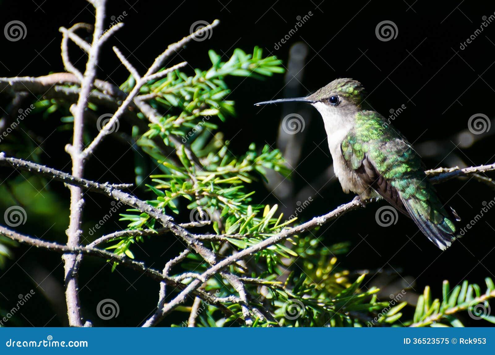 Colibri Rubis-Throated été perché dans un arbre