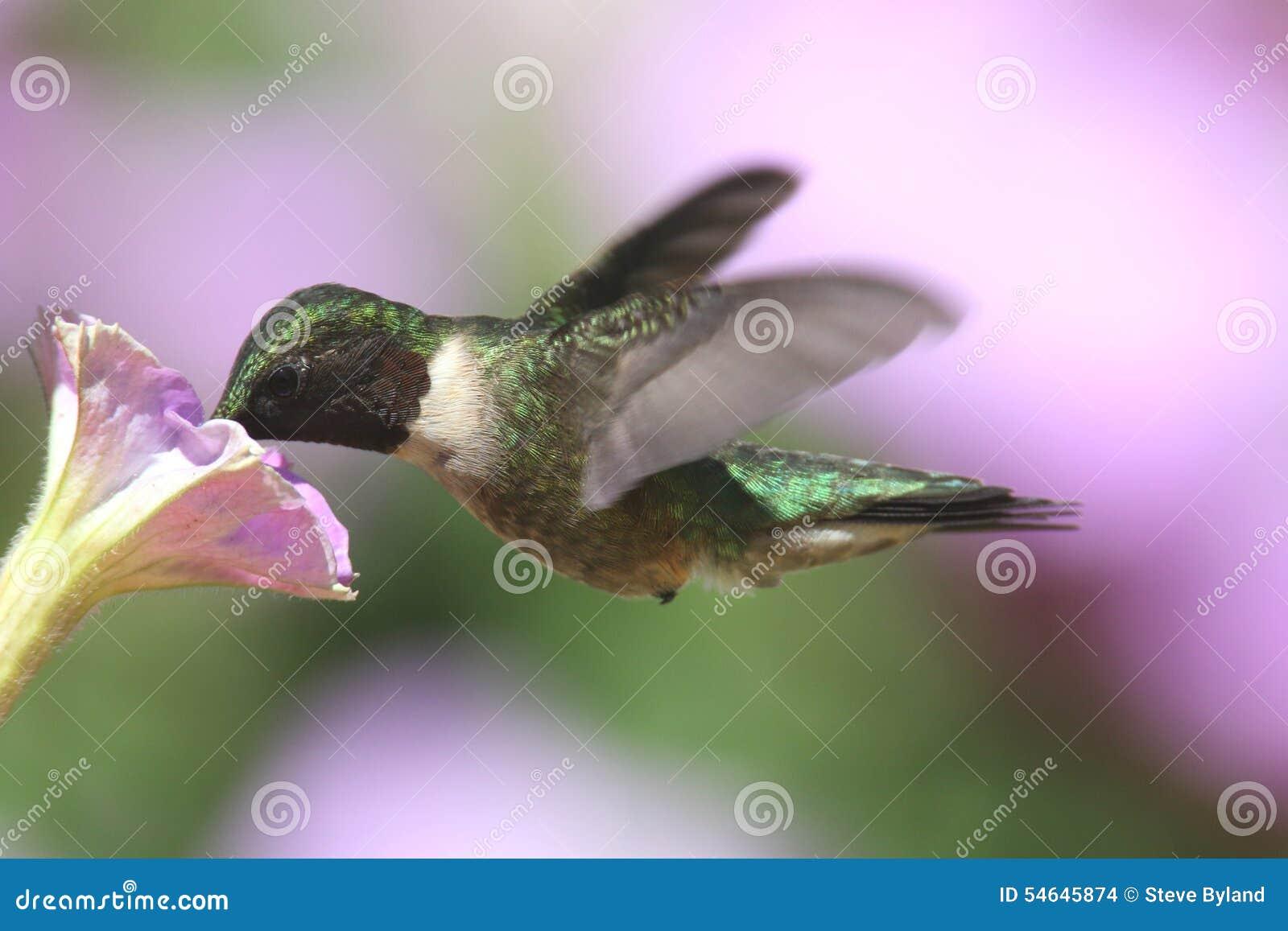 Colibri Rubis-throated (colubris d archilochus)