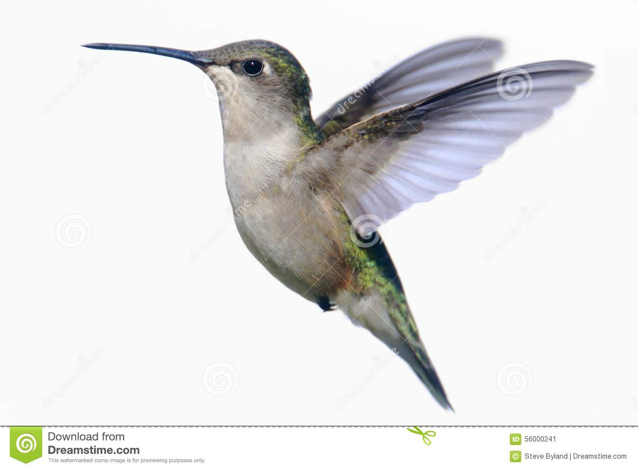 Colibri Rubis-throated d isolement sur le blanc