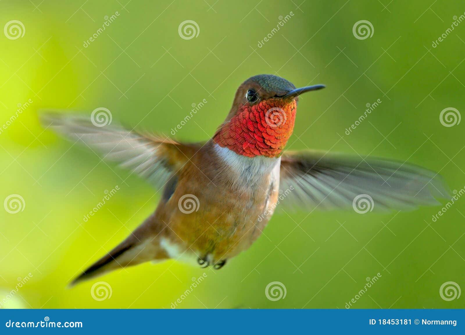 Colibri rufous masculino