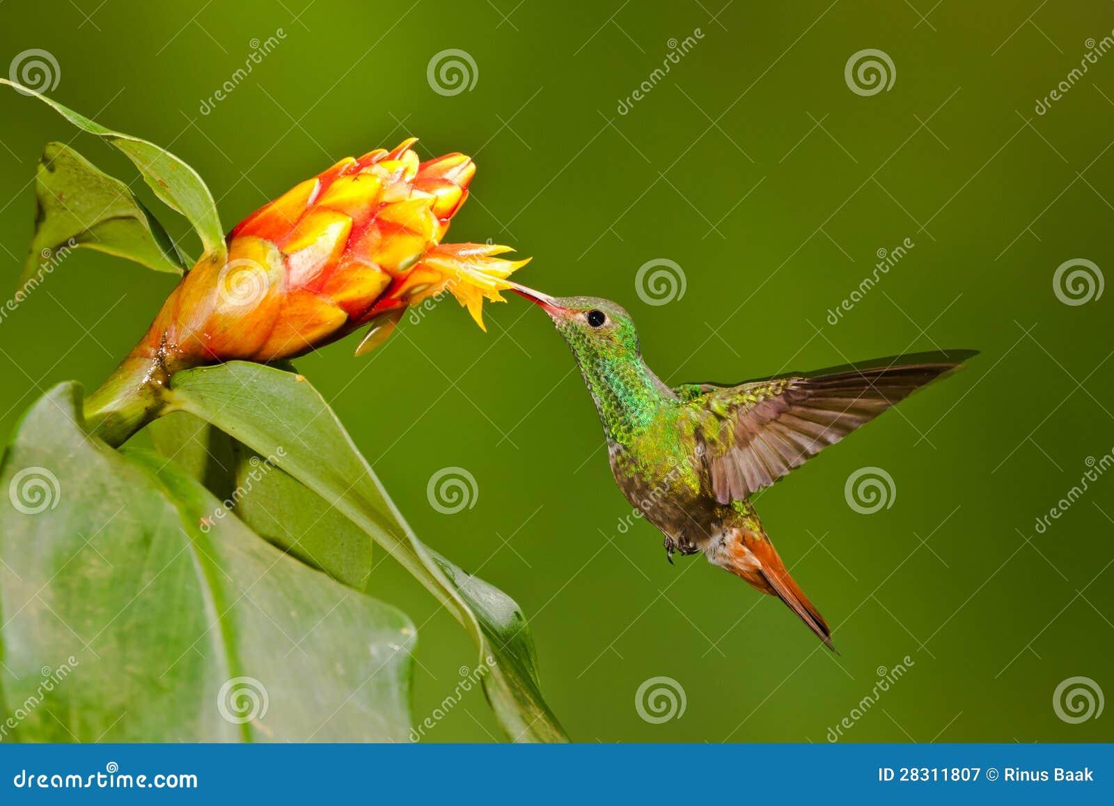 Colibri suivi Rufous