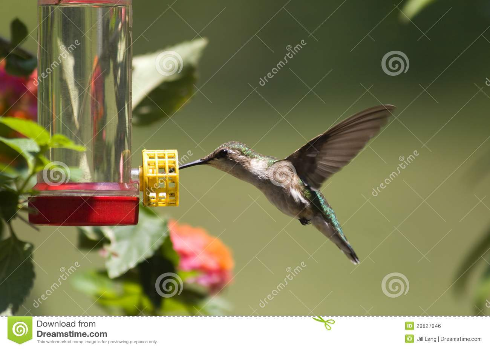 Colibri no alimentador
