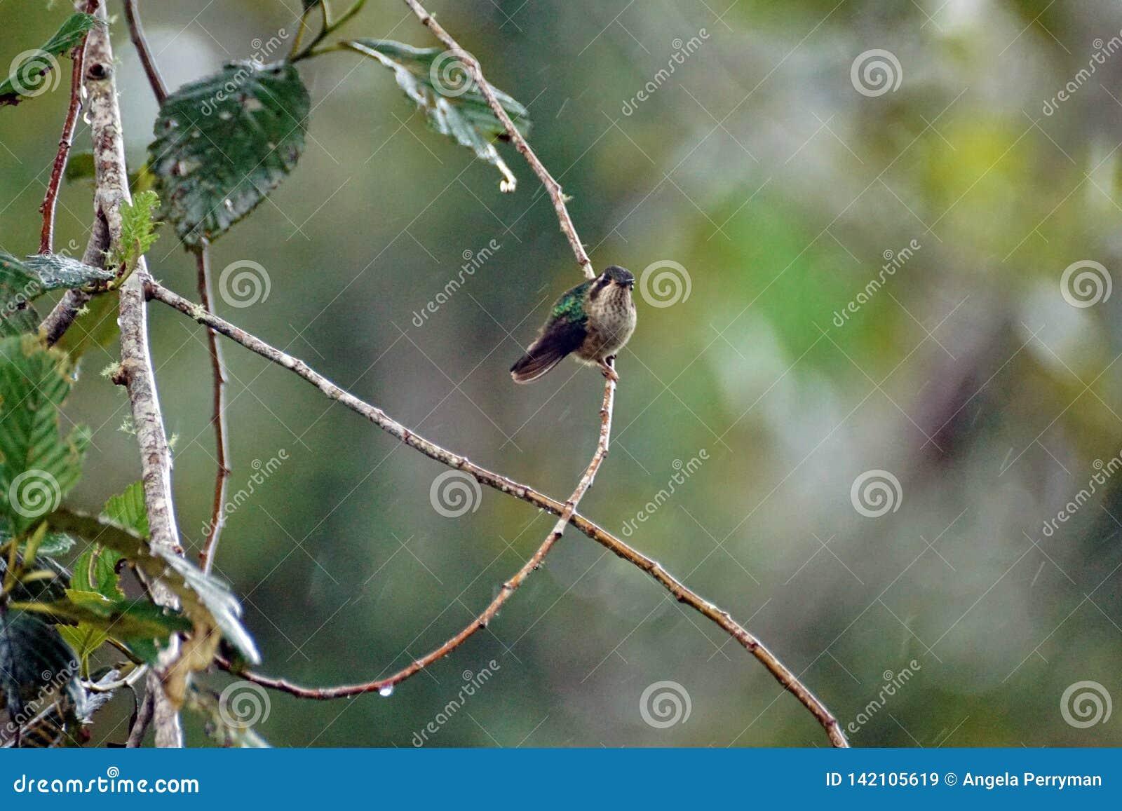 Colibri woodstar Blanc-gonflé