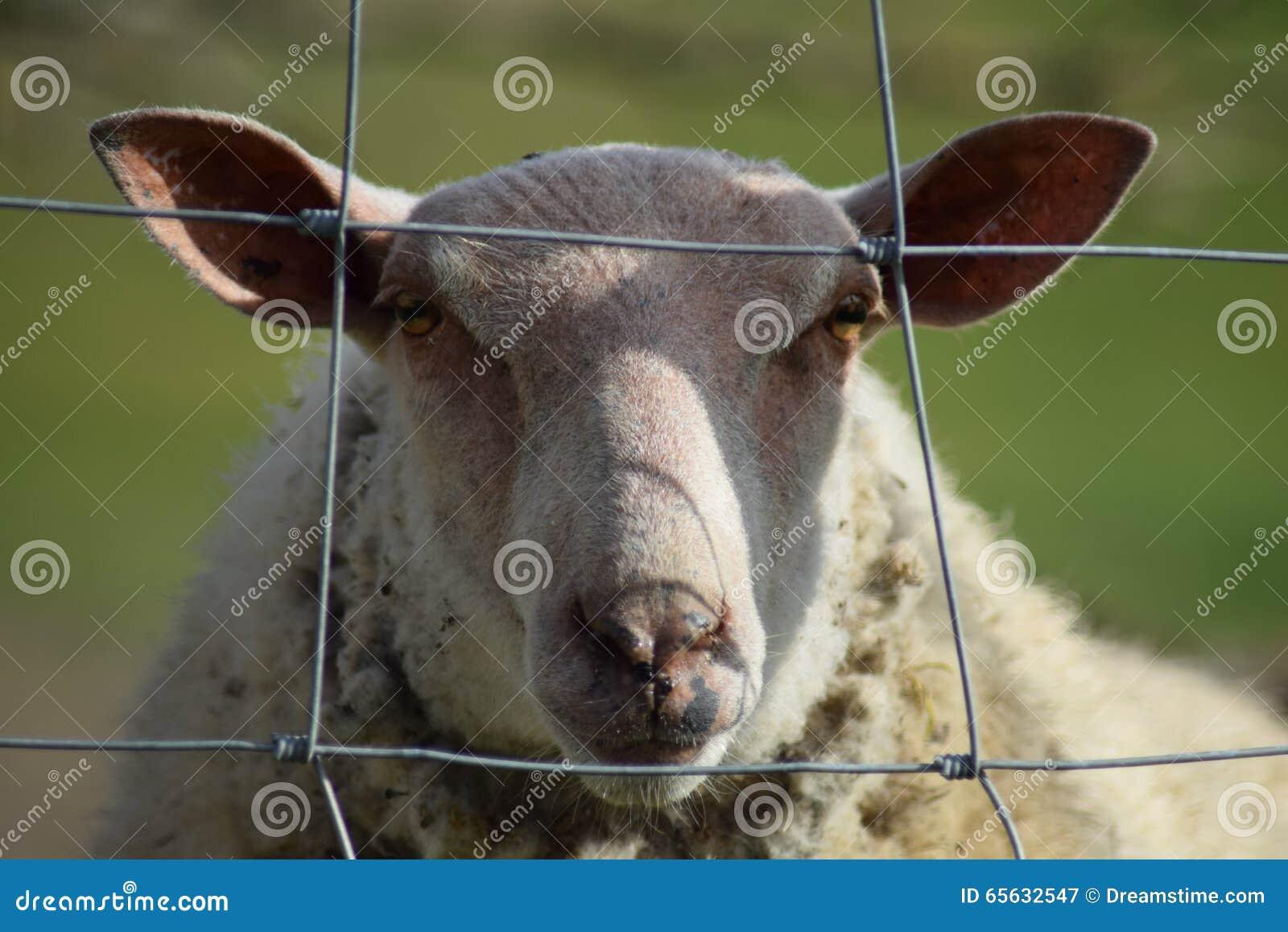 Colin les moutons