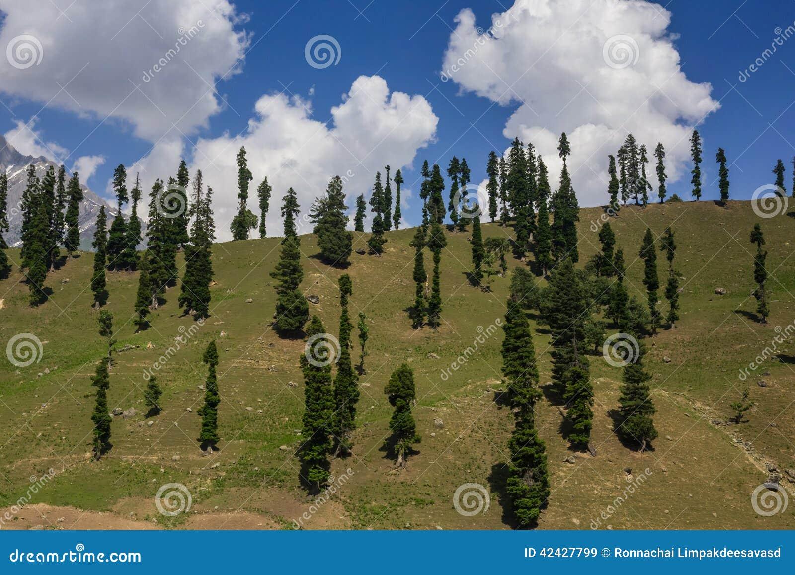 Colina con los árboles de pino