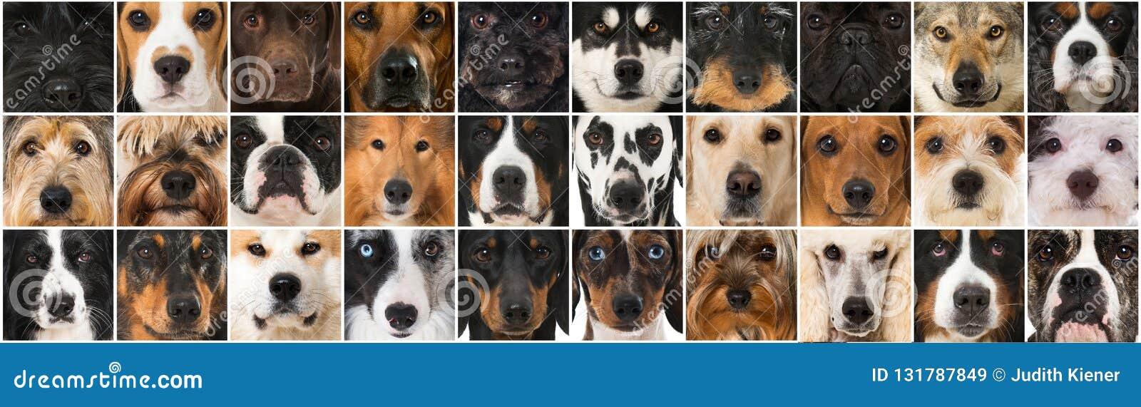 Collage av många olika avelhundhuvud