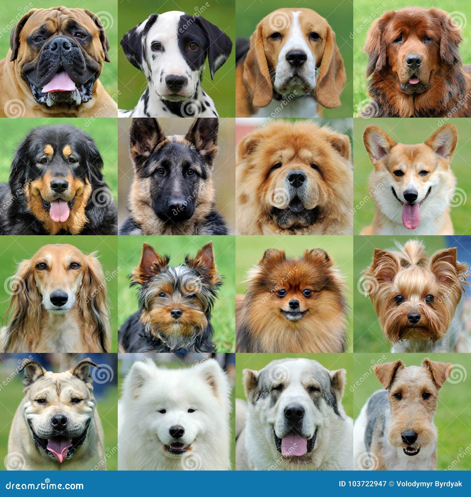 Collage av olik hundkapplöpning