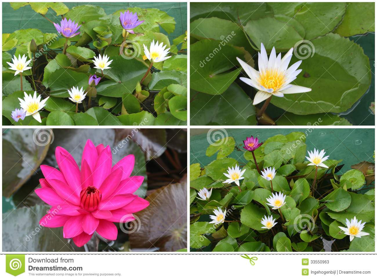 Collage of blooming lotus flowers asia stock image image of collage of blooming lotus flowers asia izmirmasajfo