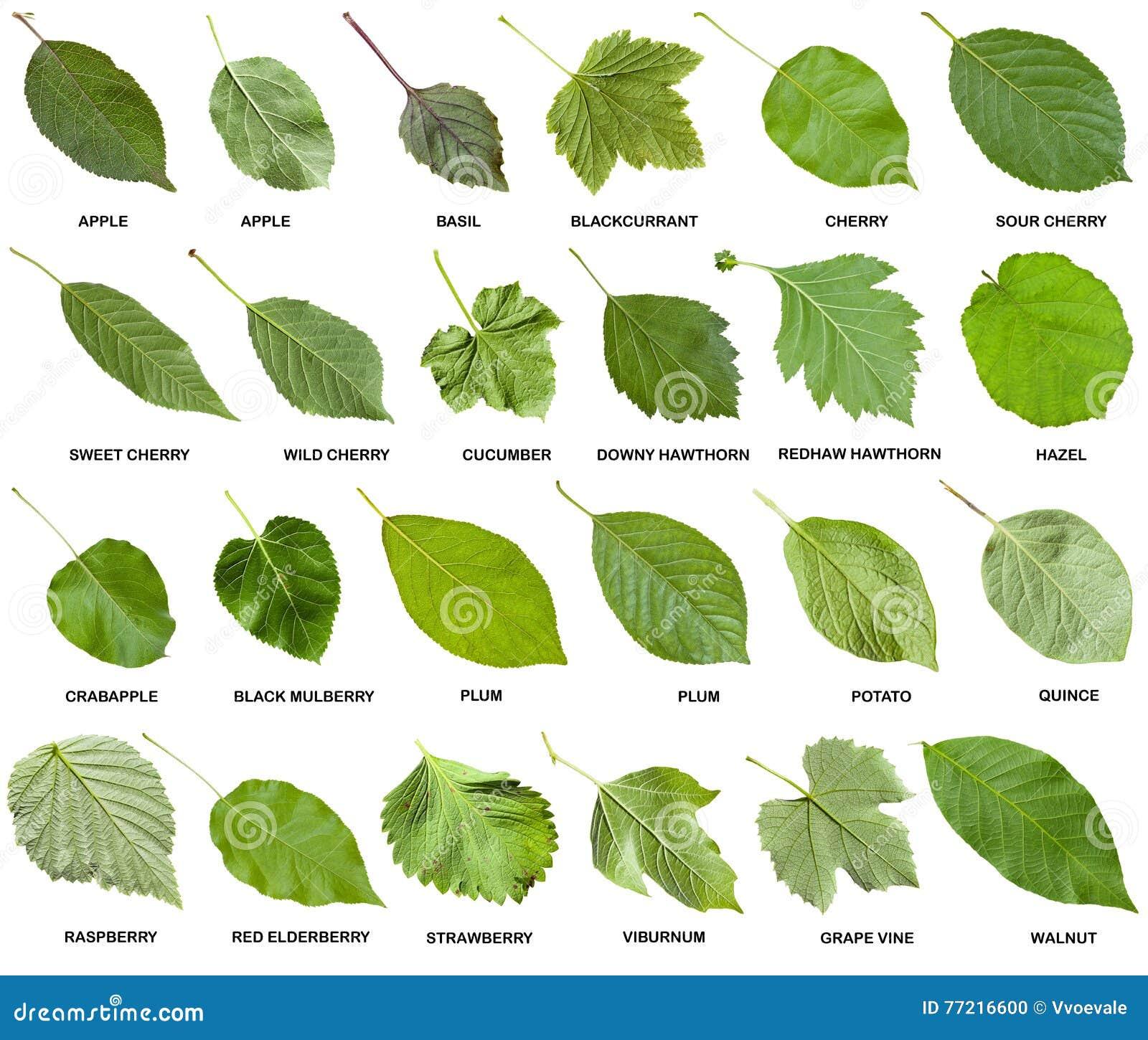 Collage De Las Hojas Verdes De Arboles Con Nombres Foto De Archivo - Hojas-de-arboles