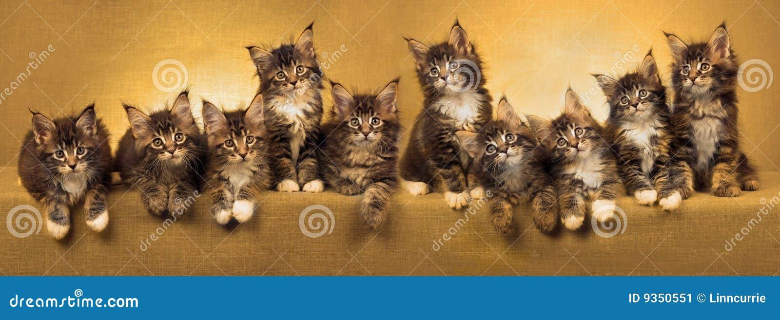 Collage de panorama des chatons de ragondin du Maine