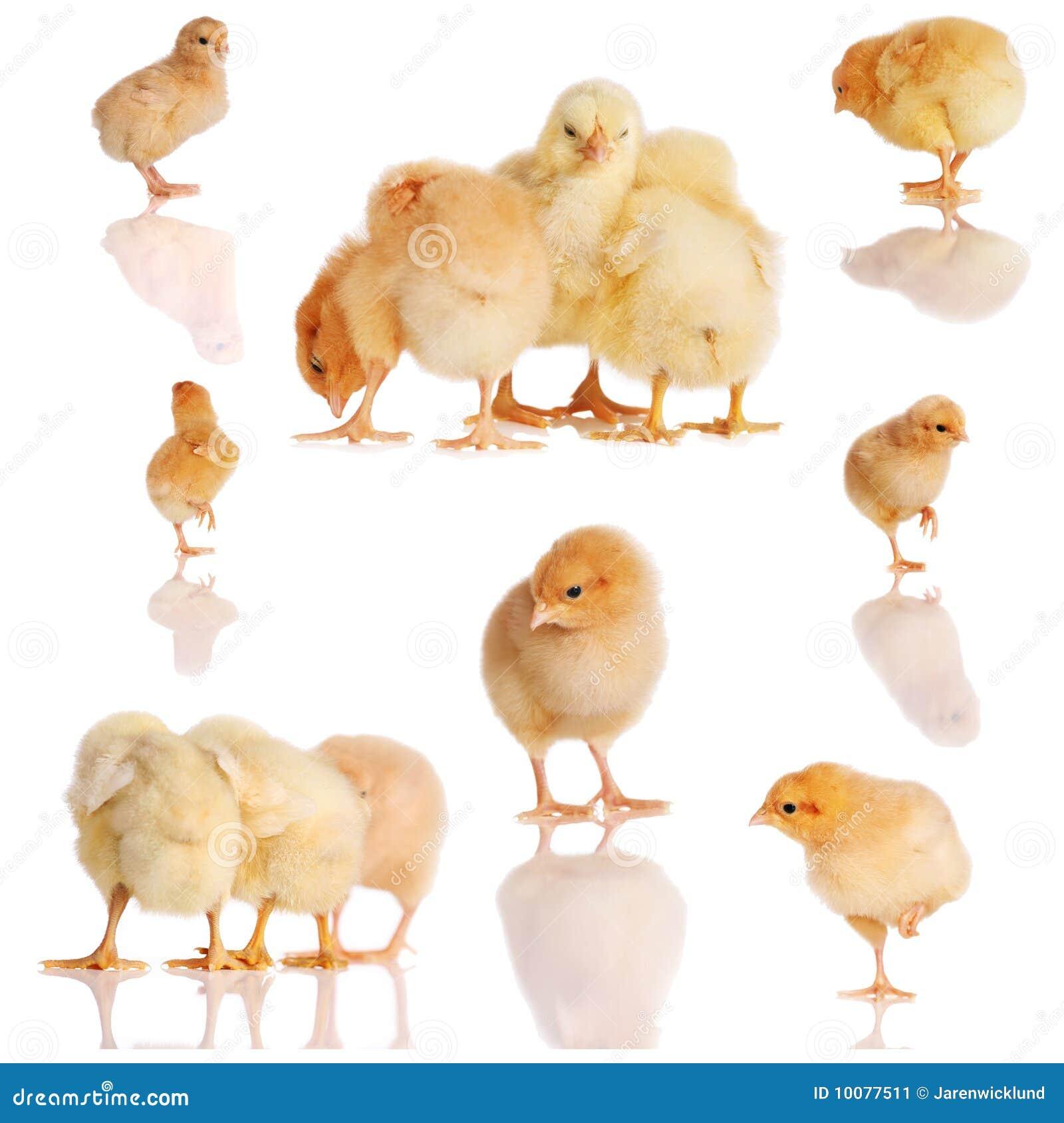 Polluelos Derecho