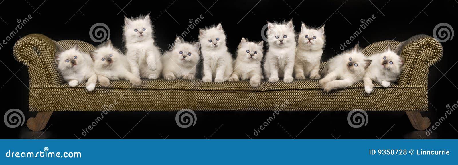 Collage del panorama de los gatitos de Ragdoll