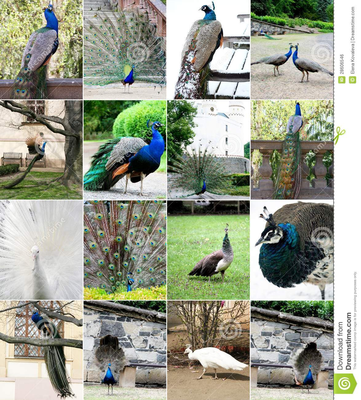 Collage del pavo real hermoso