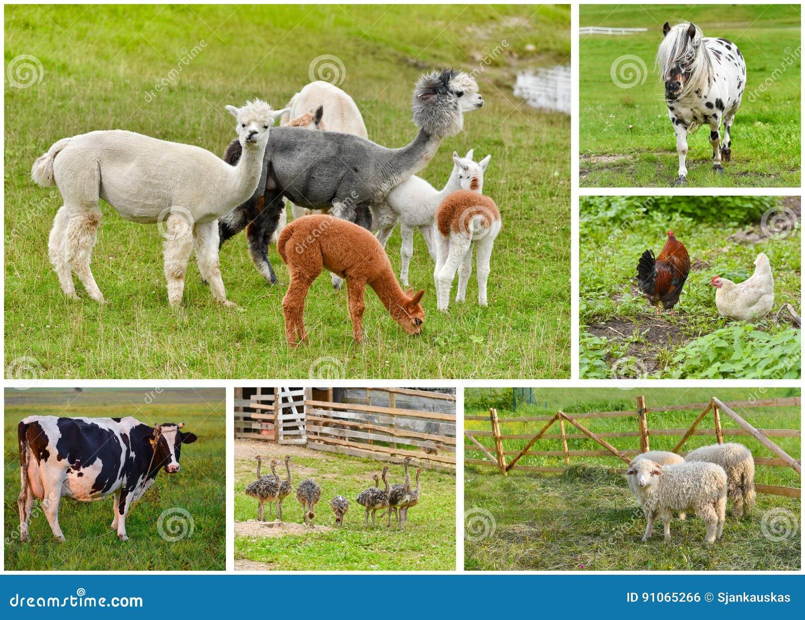 Collage för lantgårddjur