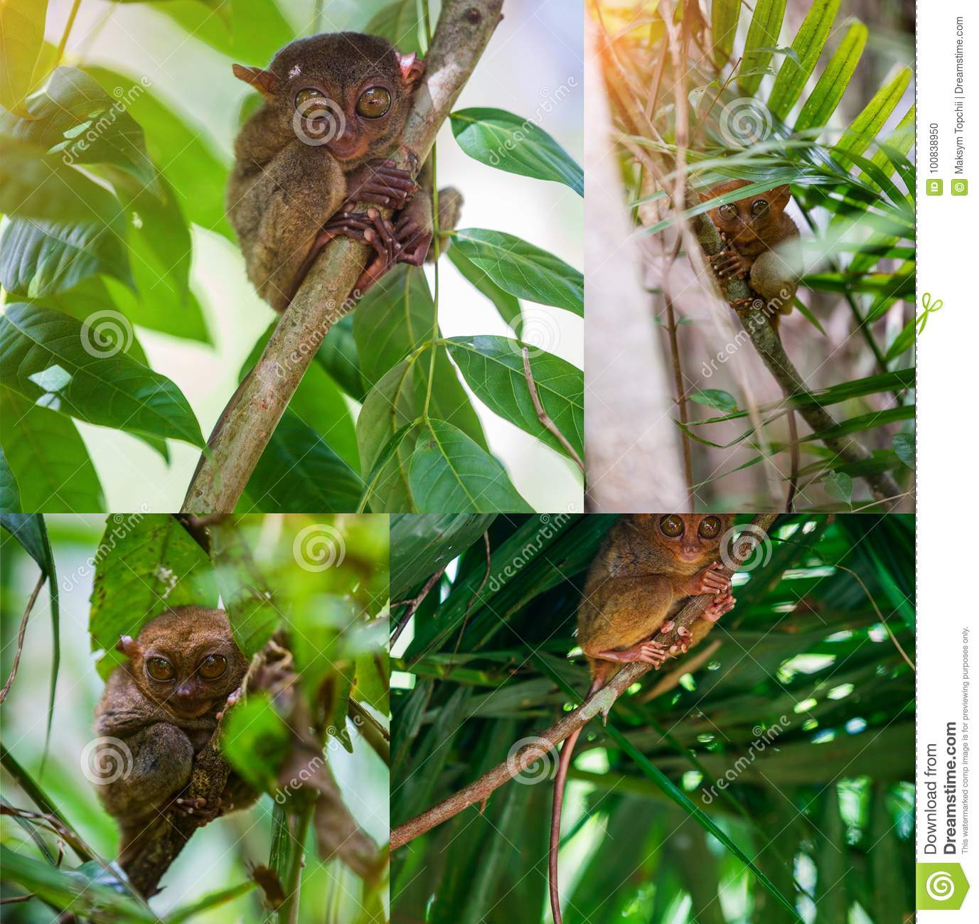 Collage of images Tarsier Bohol, Philippines, closeup portrait, sits on a tree in the jungle.
